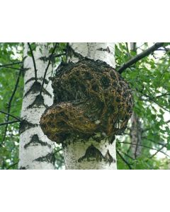 ЧАГА  (березовый гриб) 50 гр