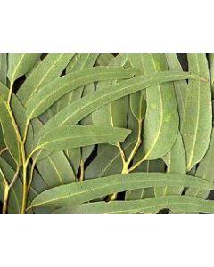 ЭВКАЛИПТ (листья) 45г
