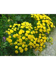 Пижма цветы